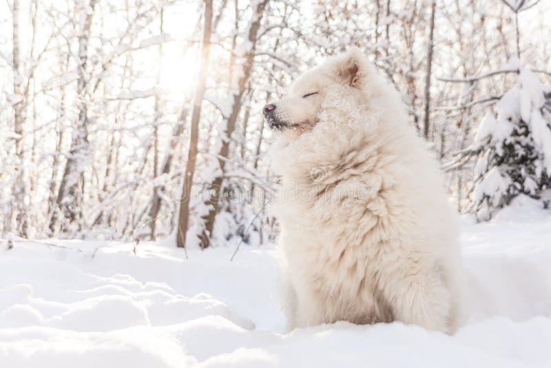 El perro sonriente del samoyedo pone en nieve del invierno imágenes de archivo libres de regalías