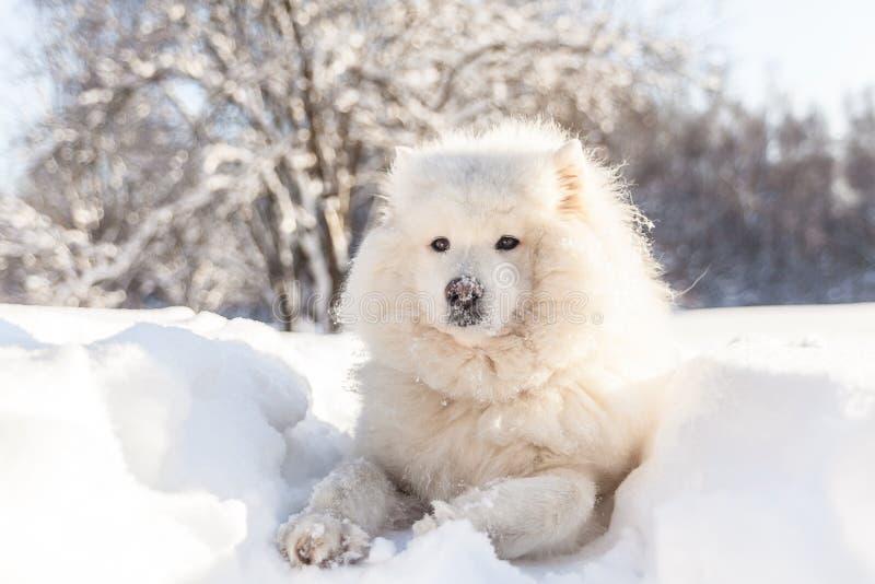 El perro sonriente del samoyedo pone en nieve del invierno foto de archivo