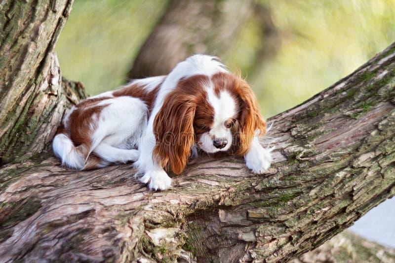 El perro triste cocker spaniel miente en un árbol y miradas en perfil fotos de archivo libres de regalías