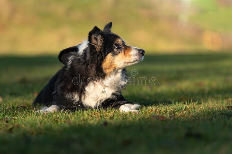 El perro viejo mismo está mintiendo en la hierba en otoño imagen de archivo libre de regalías