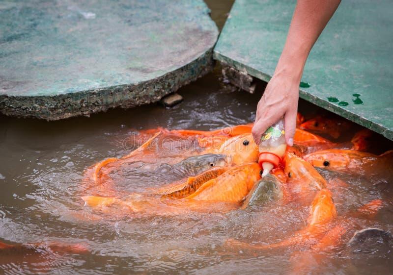 El pescado asiático del oro hambriento come la comida de la botella en la charca Mano del `s del hombre las alimentaciones del ho fotografía de archivo libre de regalías