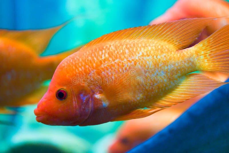 El pescado de Cichlid nada con las porciones de pescados en el acuario imagen de archivo