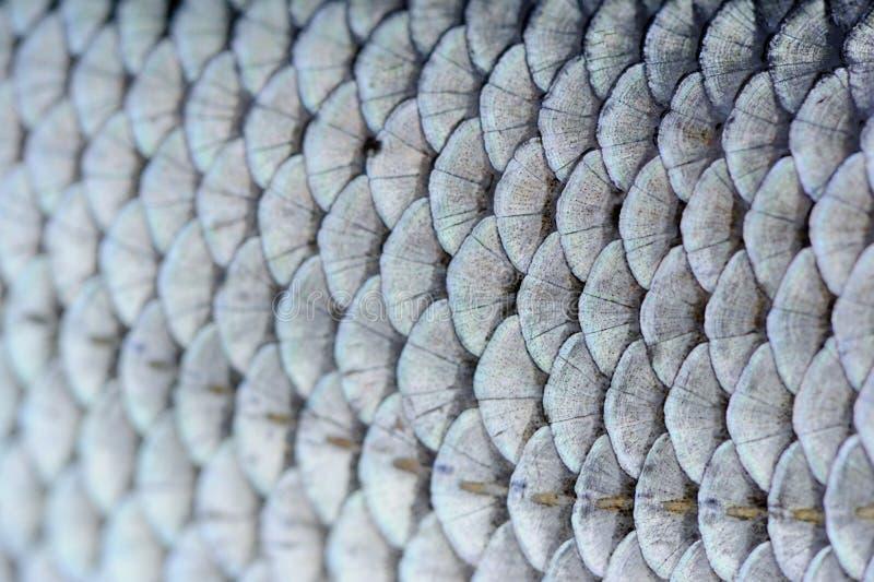 El pescado de la cucaracha escala macro imagen de archivo