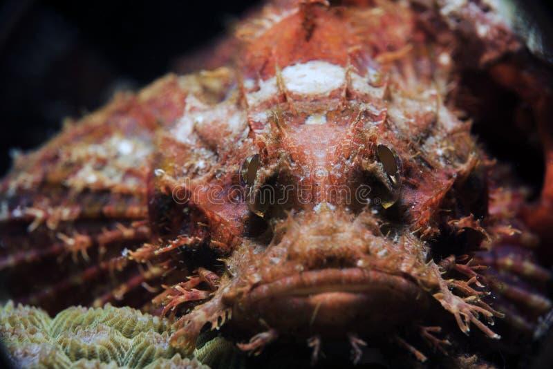 El pescado de piedra rojo observa escena subacuática fotos de archivo