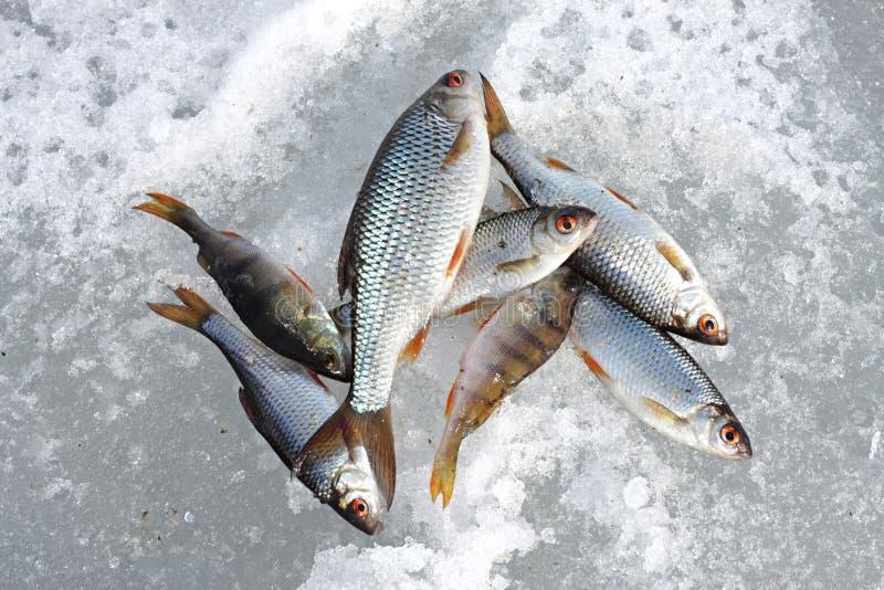 El Pescado Congelado Miente En Nieve Foto de archivo