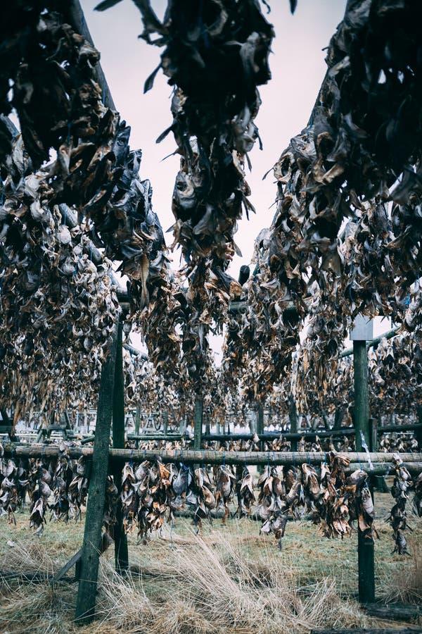 El pescado dirige los huesos de las sobras de las colas que cuelgan al aire libre en Islandia fotos de archivo
