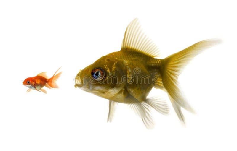 El pescado más grande intenta comer el pequeño. fotos de archivo