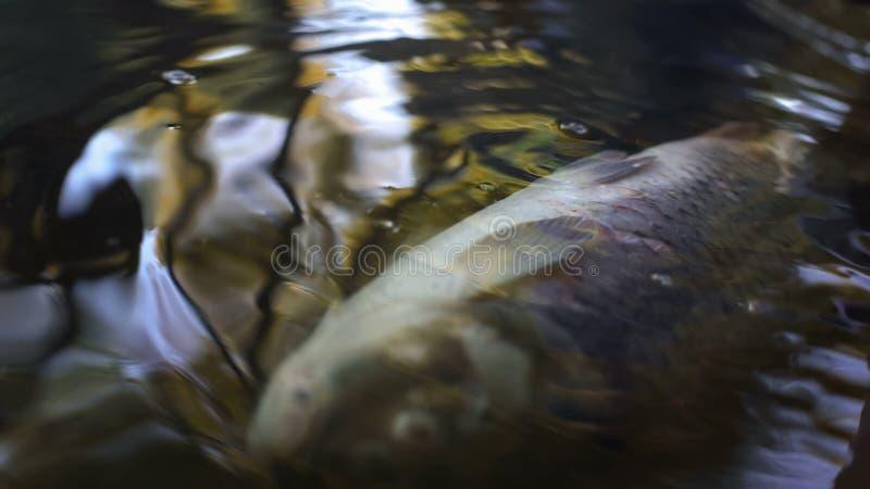 El pescado muerto en la contaminación de agua de río, basura industrial stropea daño medioambiental imágenes de archivo libres de regalías