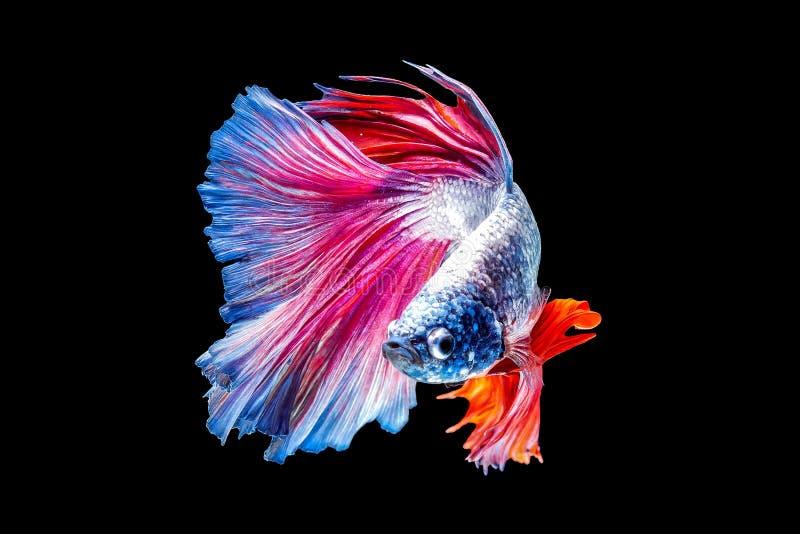 El pescado que lucha tailand?s es un pescado hermoso y pescado nacional tailand?s imágenes de archivo libres de regalías