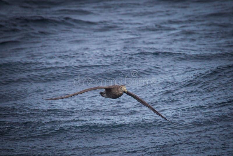 El petrel septentrional gigante vuela bajo a la nave de siguiente del agua foto de archivo