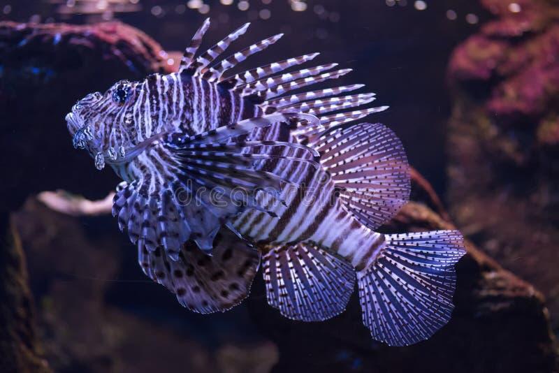 El pez Escorpión, Trachinus draco, también llamado pez araña o pipa, escarapote, sabirón o salvario, es un pez de la familia fotografía de archivo libre de regalías