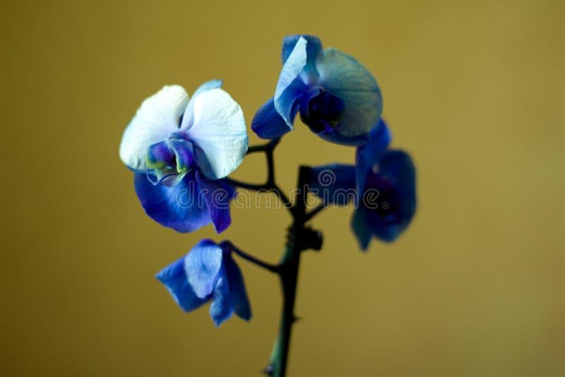 El Phalaenopsis/ËŒblue/Blume 1825, conocido como orquídeas de polilla, abrevió Phal en el comercio hortícola, [2] una orquídea fotografía de archivo libre de regalías