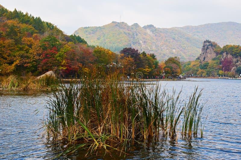 El Phragmites en el lago foto de archivo