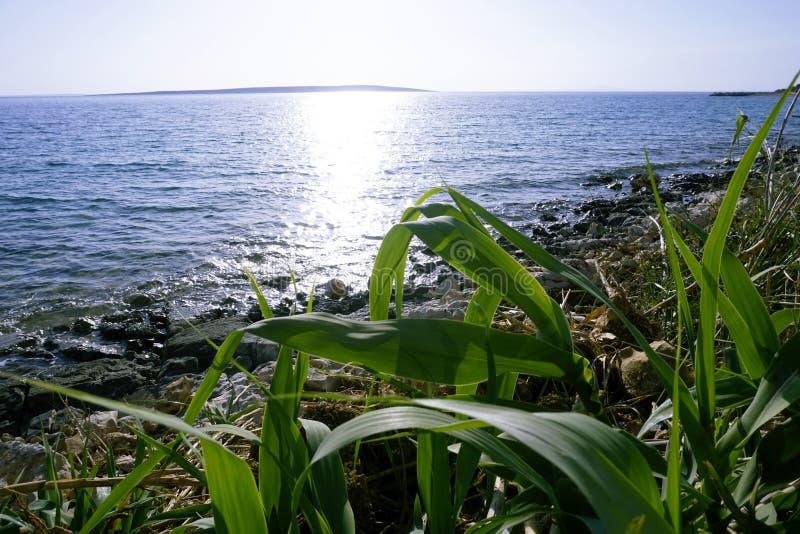 El Phragmites joven verde de la hierba cerca del mar claramente azul con el sol irradia el reflejo en el agua imagenes de archivo