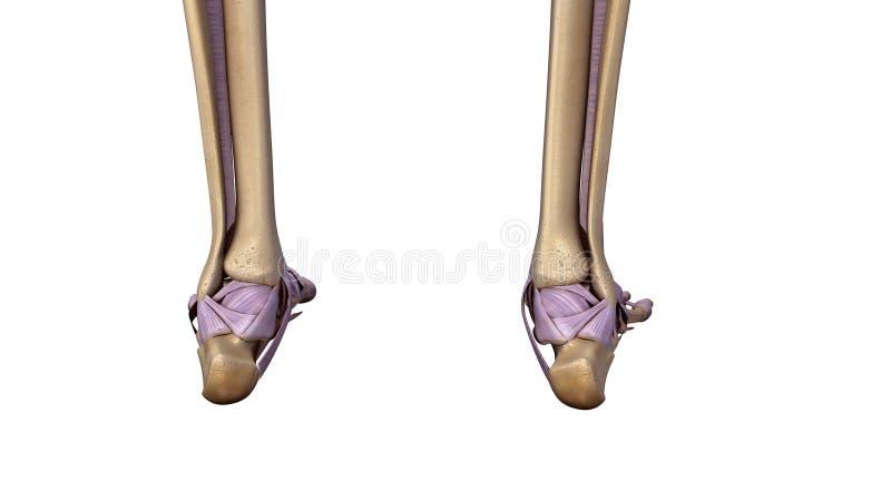 El pie esquelético con los ligamentos apoya la visión fotos de archivo