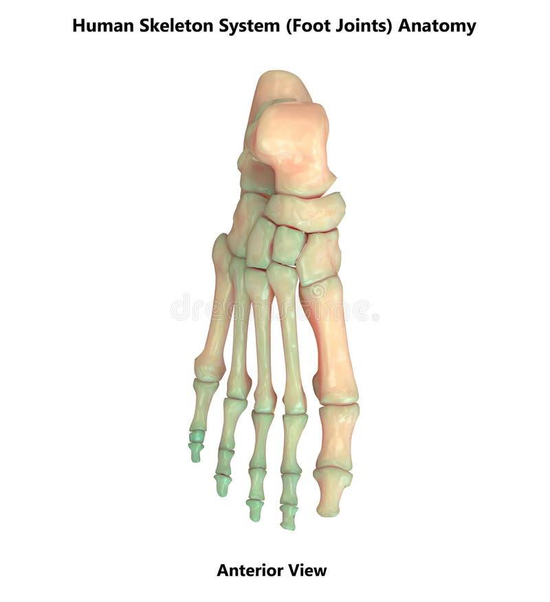 El pie humano del sistema esquelético articula la anatomía anterior de la visión stock de ilustración