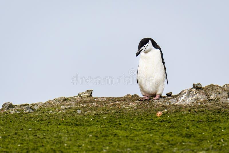 El pingüino de Chinstrap en las algas verdes cubrió el canto contra un cielo cubierto, islas de Aitcho, Islas Shetland del sur, fotos de archivo