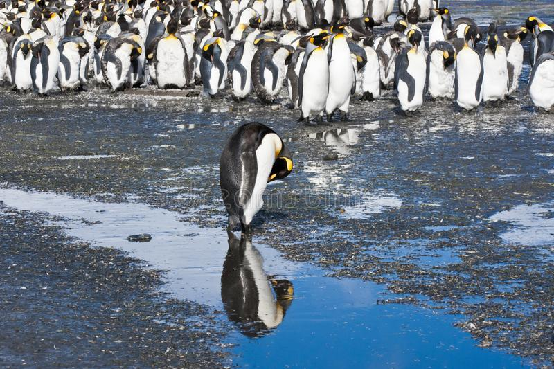 El pingüino de rey reflejó en el agua, la Antártida imagenes de archivo