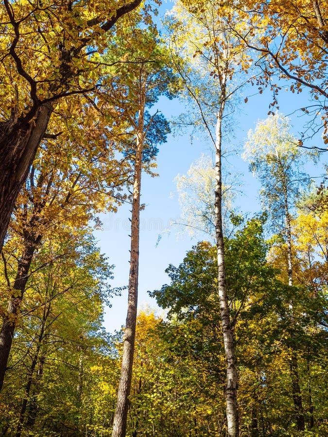 el pino alto, abedul, robles se encendió por el sol en bosque imagen de archivo libre de regalías