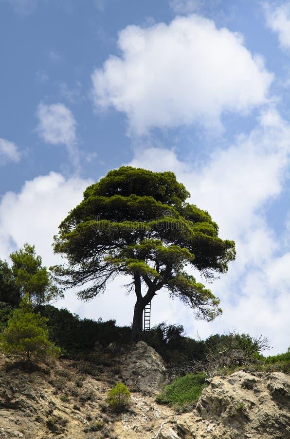 El pino marítimo encima de un acantilado cerca del tronco allí es una escalera que descansa sobre ella, el cielo azul está nublad foto de archivo libre de regalías