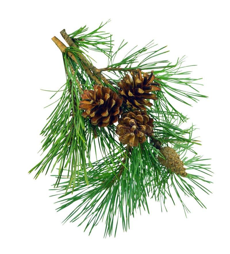 El pino ramifica con los conos, aislados sin la sombra imagen de archivo libre de regalías
