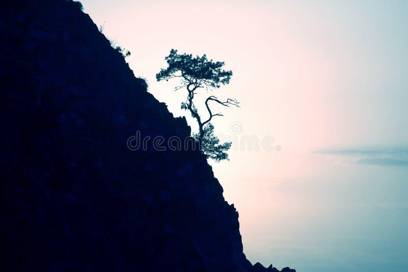 El pino solo crece en una roca en la luz del sol fotografía de archivo libre de regalías
