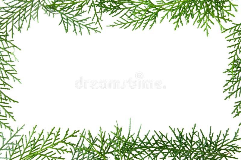 El pino verde deja el marco en un fondo blanco fotografía de archivo