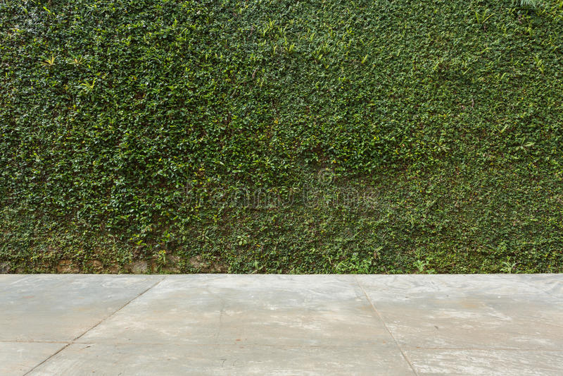 El piso concreto y la planta verde de la hiedra de la hoja cubrieron la pared de piedra de la cerca imagen de archivo libre de regalías