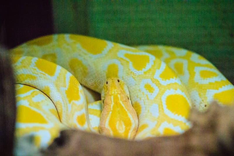 El pitón de Albino Burmese (bivittatus de Python) es uno del lar cinco fotografía de archivo