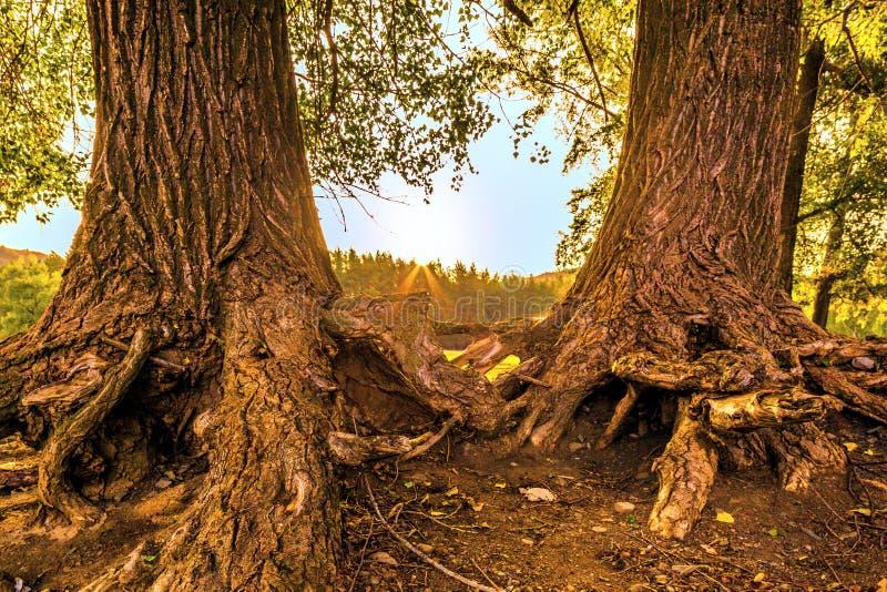El plexo extraño de las raíces desnudas imagen de archivo