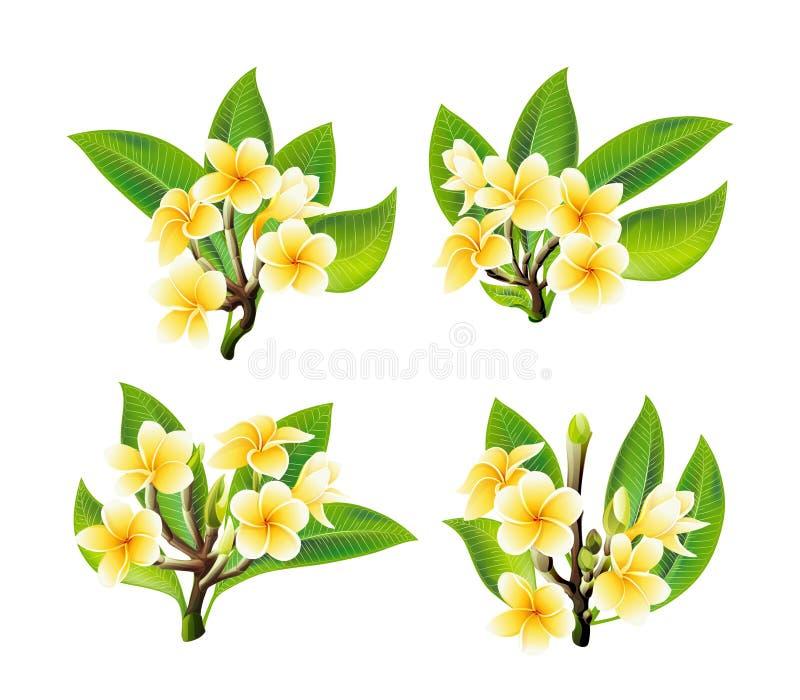 El Plumeria blanco y amarillo florece en estilo realista en el fondo blanco fotografía de archivo libre de regalías