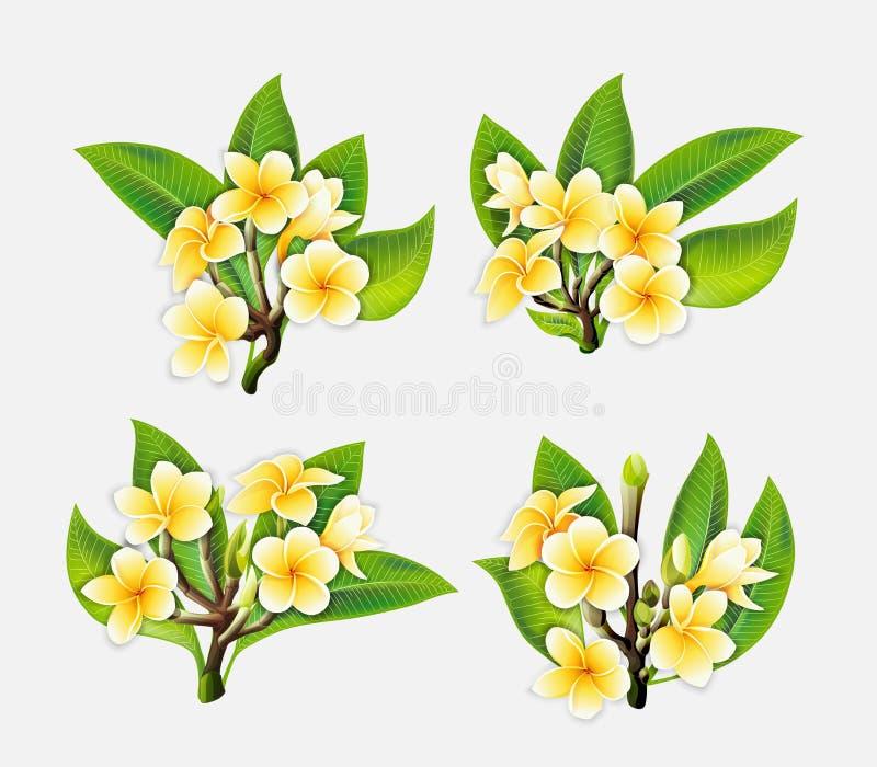 El Plumeria blanco y amarillo florece en estilo realista en el fondo blanco imágenes de archivo libres de regalías