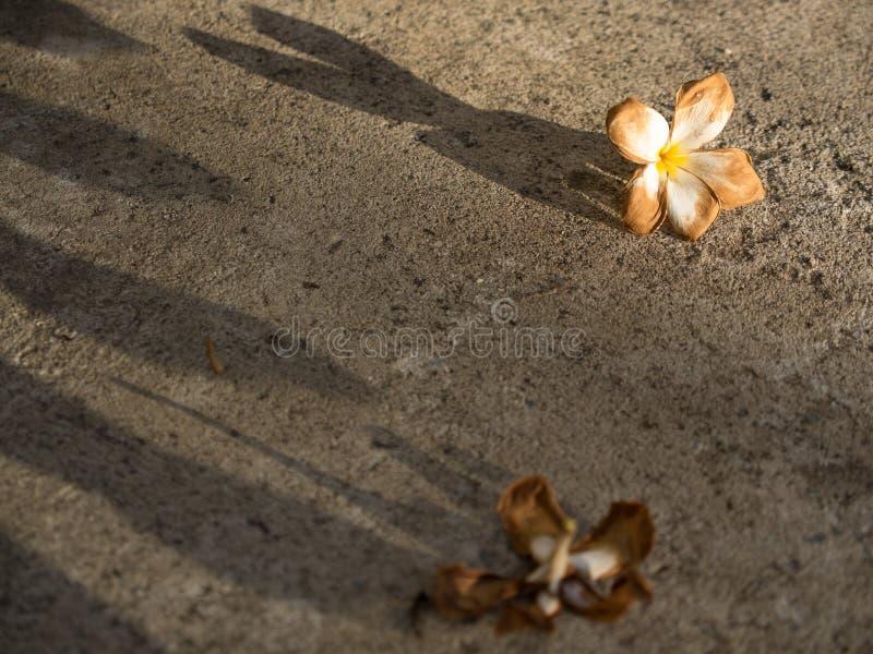 El Plumeria marchitó caída de la flor fotografía de archivo