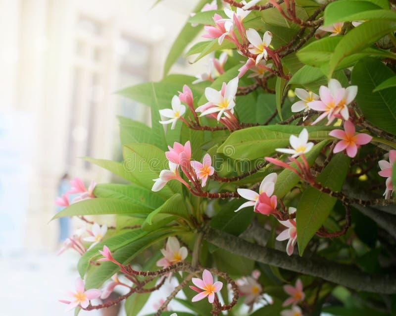 El plumeria suave de la falta de definición, frangipani florece en árbol fotografía de archivo