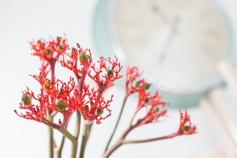 El podagrica del Jatropha es una especie de plantas conocidas por varios nombres comunes ingleses, incluyendo arbusto bottleplant foto de archivo libre de regalías