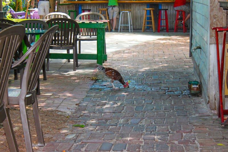 El pollo bebe el agua en las piedras de pavimentación que gotean de facuet en la pared cerca de sillas enrrolladas y de tablas pi foto de archivo