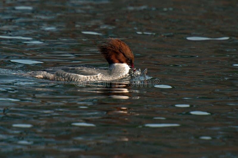 El pollo de agua eurasiático del Mergus del somorgujo fotos de archivo