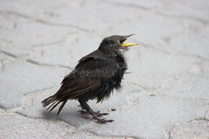 El polluelo del estornino se sienta en la tierra en la primavera fotografía de archivo libre de regalías