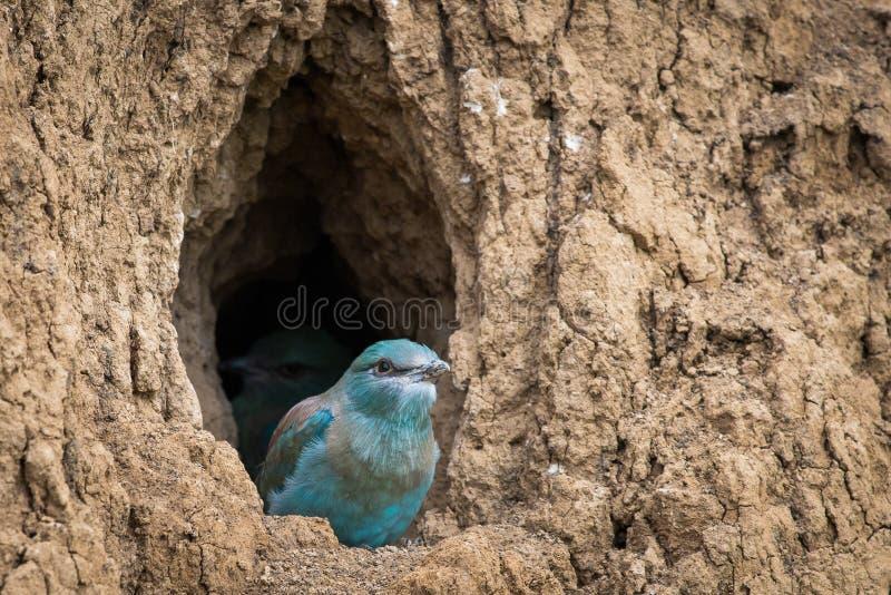 El polluelo del p?jaro del rodillo europeo se prepara para volar de la agujero-jerarqu?a imágenes de archivo libres de regalías