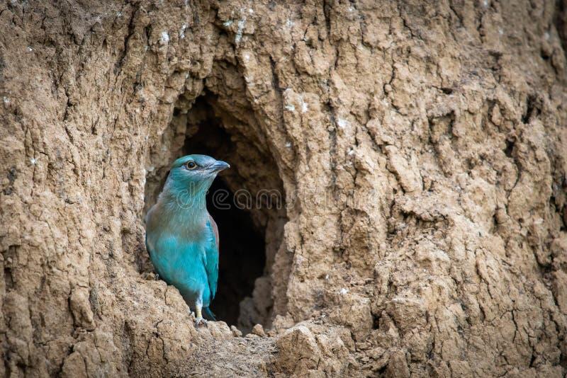 El polluelo del p?jaro del rodillo europeo se prepara para volar de la agujero-jerarqu?a fotos de archivo