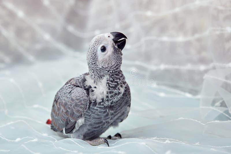 El polluelo joven Jaco presenta para la cámara fotografía de archivo