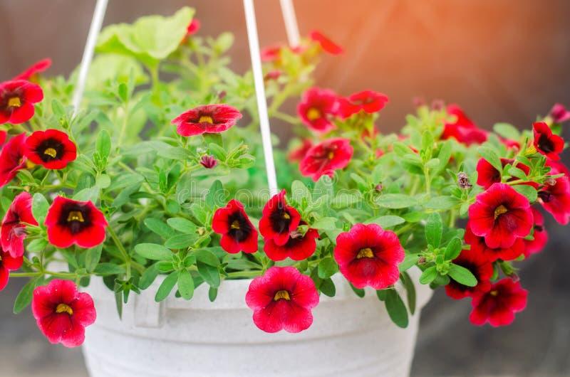 El pote con petunyami rojo, la primavera hermosa y el verano florece para la casa, el jardín, el balcón o el césped, papel pintad foto de archivo