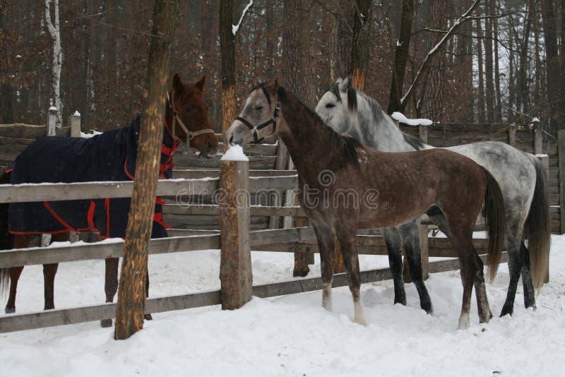 el potro árabe joven y el caballo capón árabe adulto corrieron para conseguir conocidos de la yegua imagen de archivo