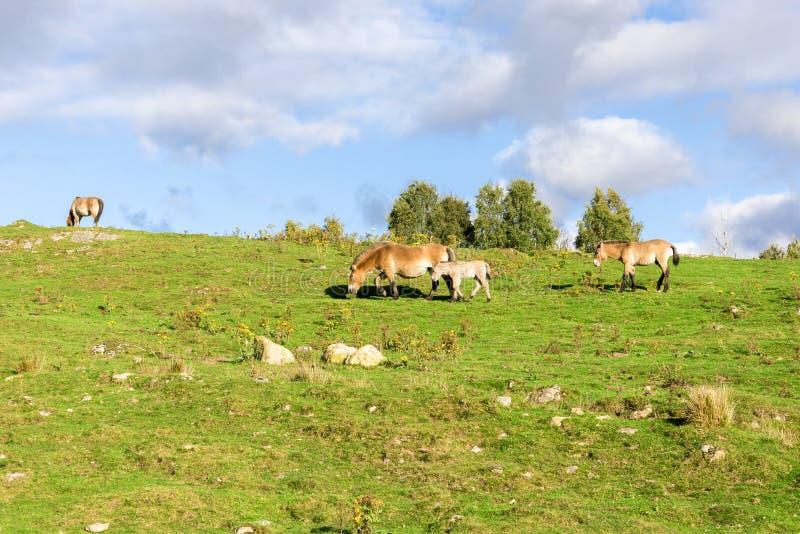 El potro del caballo salvaje de un pequeño Przewalski sigue a una madre de pasto en la fauna Safari Park, Escocia de la montaña imagenes de archivo