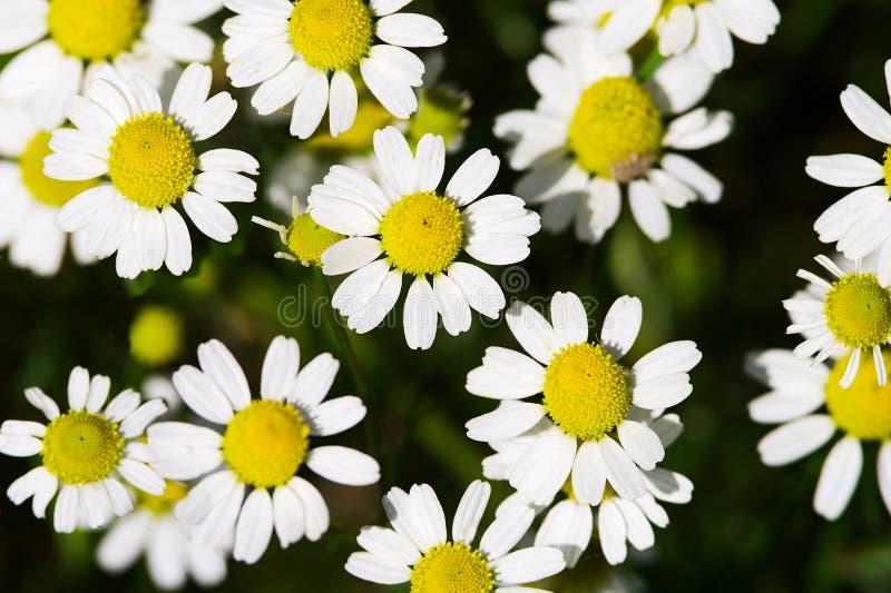 El prado de la manzanilla salvaje o de la manzanilla o de la margarita de ojo de buey florece el fondo de la visión superior fotografía de archivo libre de regalías