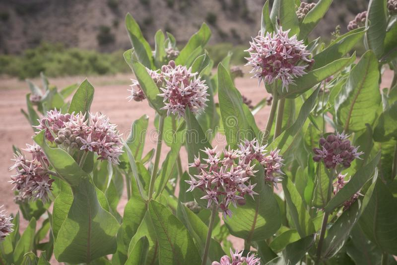 El prado del Milkweed floreciente rosado hermoso planta speciosa del Asclepias en los marrones parque, Colorado imagen de archivo