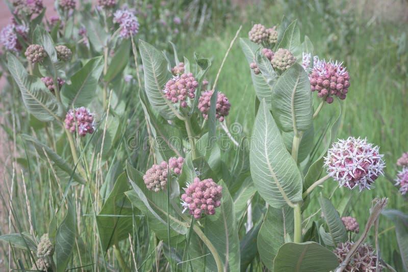 El prado del Milkweed floreciente rosado hermoso planta speciosa del Asclepias en los marrones parque, Colorado imágenes de archivo libres de regalías
