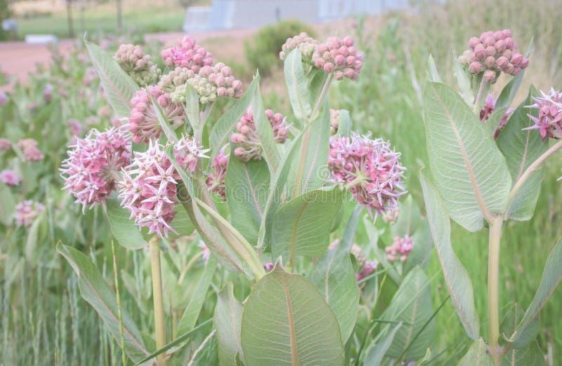 El prado del Milkweed floreciente rosado hermoso planta speciosa del Asclepias en los marrones parque, Colorado imagen de archivo libre de regalías
