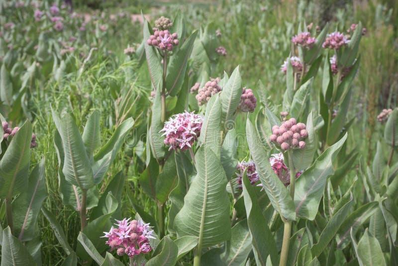 El prado del Milkweed floreciente rosado hermoso planta speciosa del Asclepias en los marrones parque, Colorado foto de archivo libre de regalías