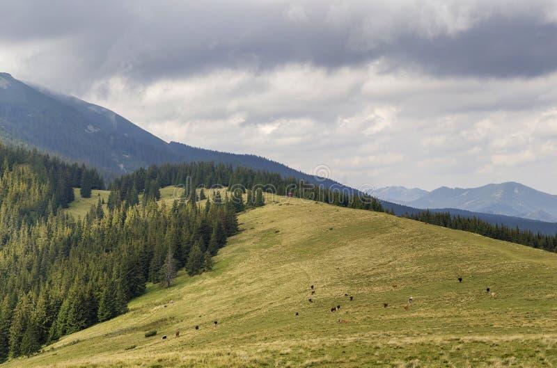 El prado herboso verde con el pasto de vacas en fondo de la montaña arbolada hiende el cielo azul Montañas hermosas de la opinión imagen de archivo libre de regalías